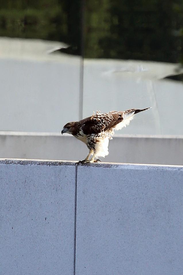 IMG_5575 081415 Resting Hawk