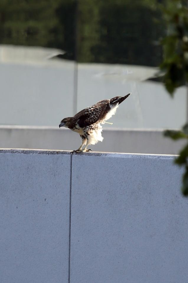 IMG_5576 081415 Resting Hawk