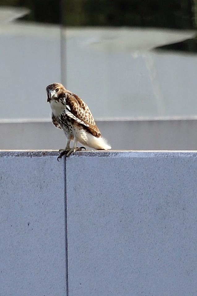 IMG_5589 081415 Resting Hawk