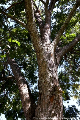 IMG_8181 101715 Pecan Tree copyright