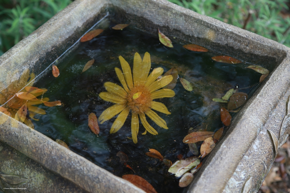 Yellow Daisy Floating in Bird Bath