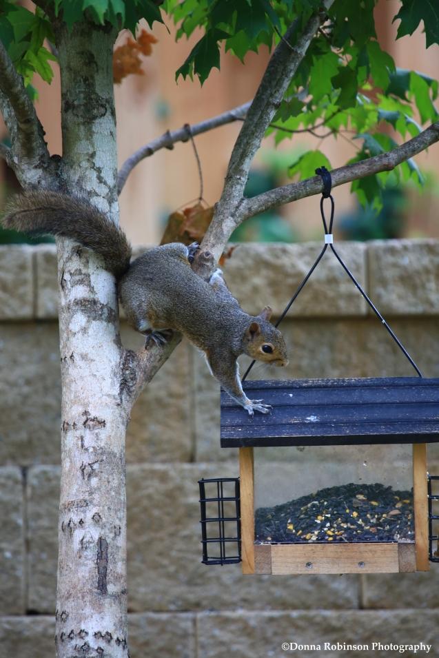 IMG_0406 071117 Squirrels