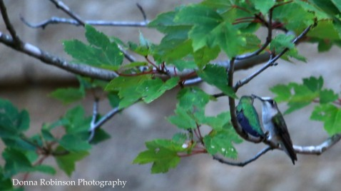 IMG_2019 082717 Hummingbird Love Birds copyright