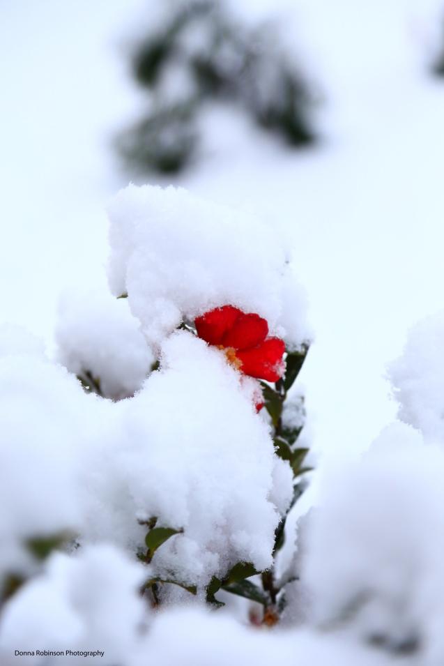 IMG_3791 120817 Atlanta Snow Sansanqua Cameila copyright