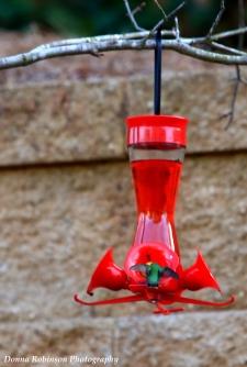 IMG_4652 2018 Ruby Throated Hummingbird copyright 040118