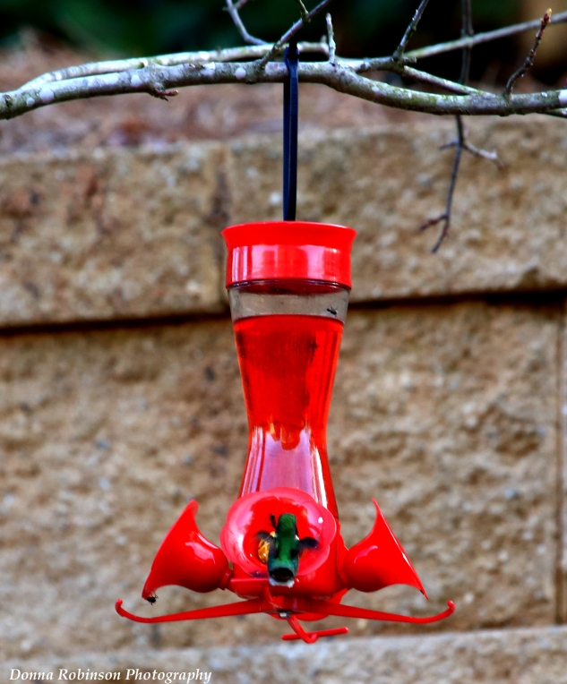 IMG_4653 2018 Hummingbird Ruby Red Throat 040118