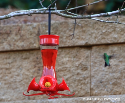 IMG_4656 2018 Ruby Throated Hummingbird copyrightt 040118