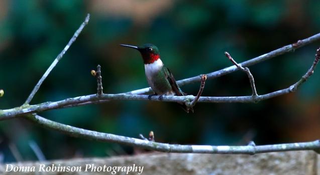 IMG_4658 2018 Ruby Throated Hummingbird copyright 040118