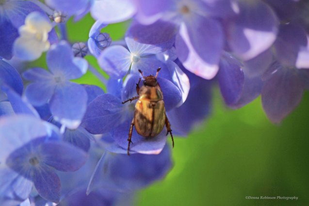IMG_7293 060118 Hydrangea with Beatle copyright