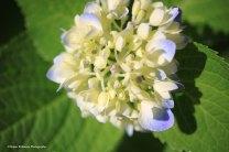 IMG_7309 060118 Hydrangea copyright
