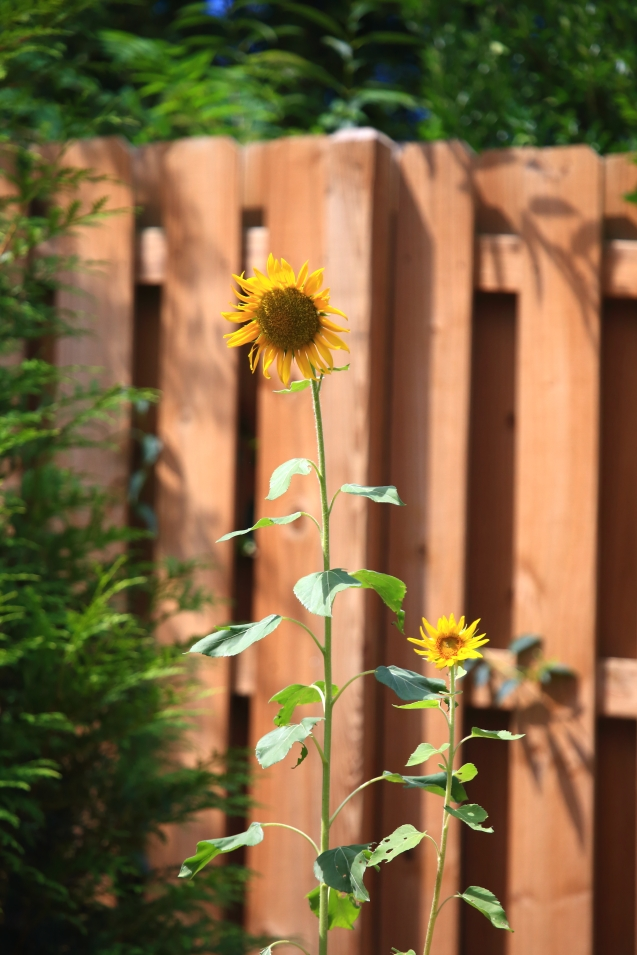 IMG_6304 070318 Accidental Sunflower