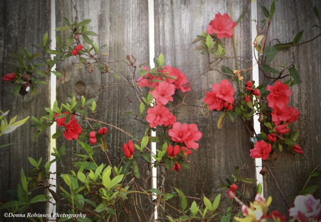 Another perspective of the azaleas growing up the weathered fence.