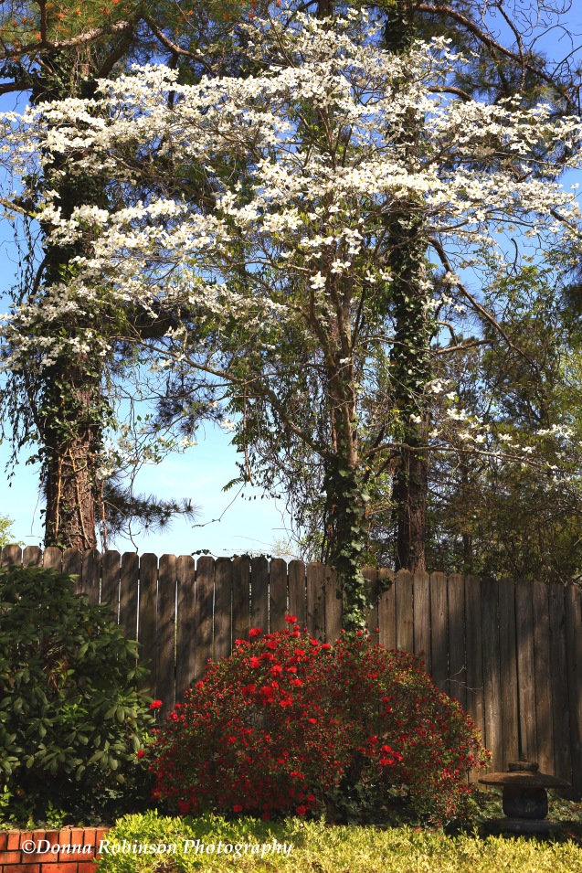 IMG_0959 040319 Dad's Dogwoods and Azaleas copyright