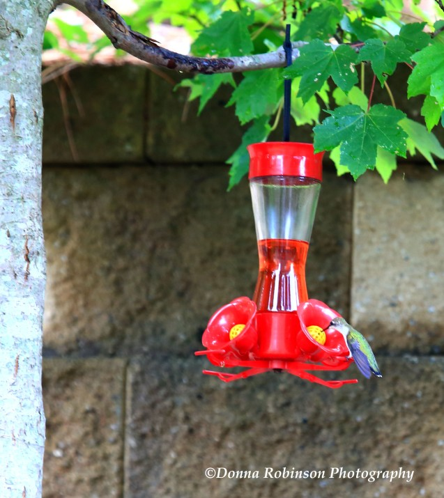 IMG_2655 Hummingbirds copyright