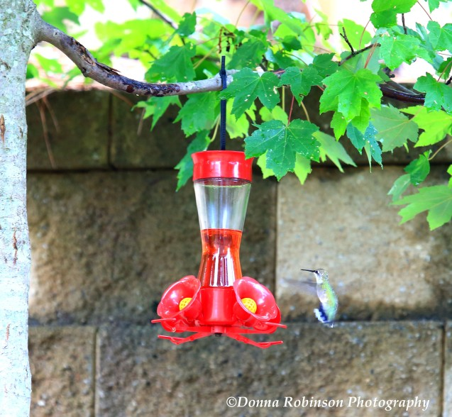 IMG_2670 071919 Hummingbirds copyright
