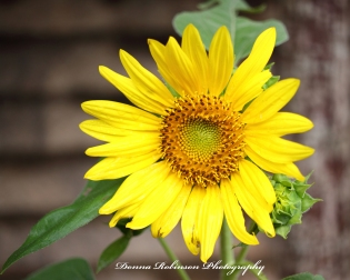 Macro photography of a sunflower