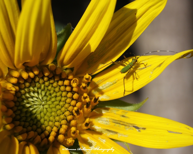 IMG_7944 062920 Sunflower Macro - Green Bug