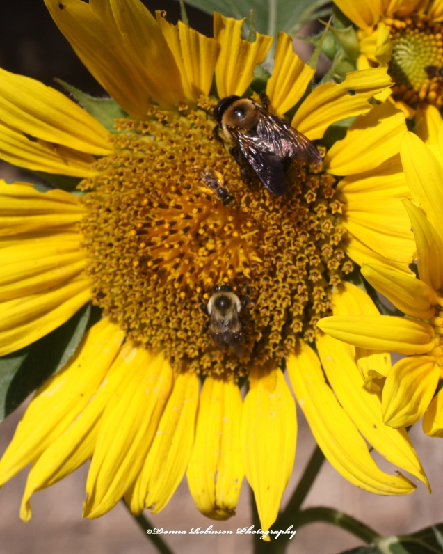 IMG_7969 062920 Sunflower Macro - Bees